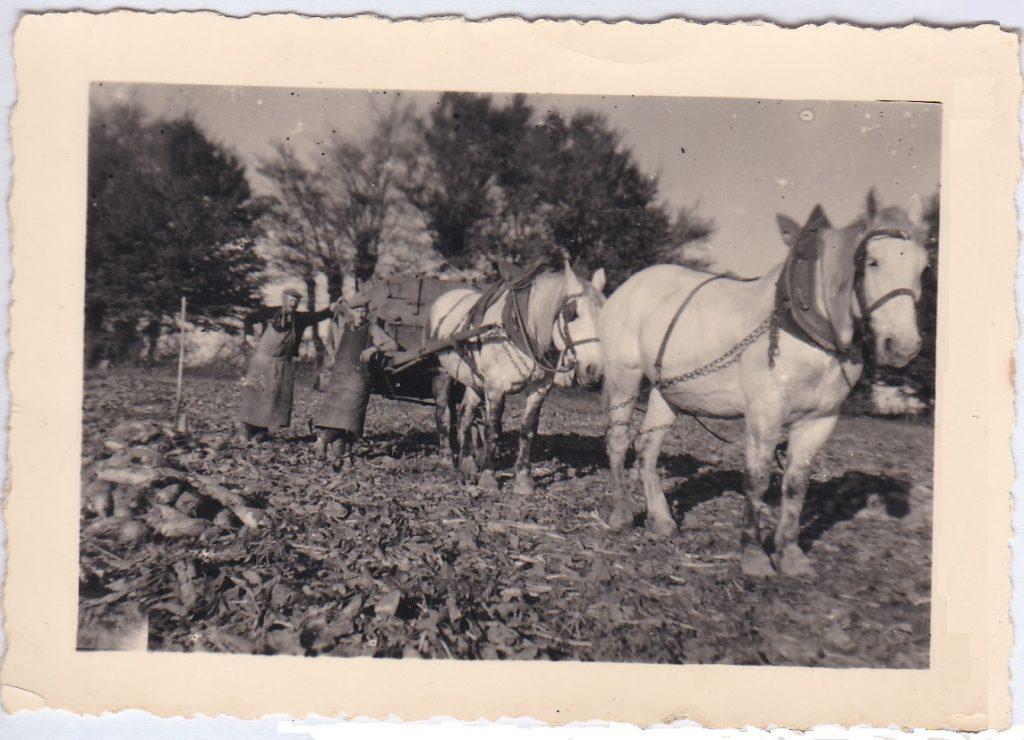 vendanges-fin-annees50-chevaux2